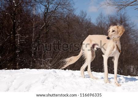 A standing white saluki on snow