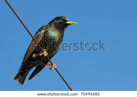 Starling Bird Symbolism a Starling Bird Perched on a