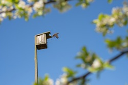 A starling flies out of a birdhouse against a clear blue sky, surrounded by flowering plum branches. Study of birds. Ornithology. A bird house made of wood with your own hands.  Old wooden birdhouse.