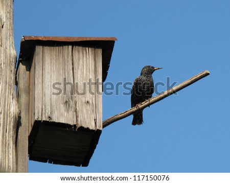 a starling near to his nest house