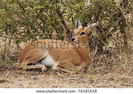 A steenbok, Raphicerus campestris, lying in thick bush