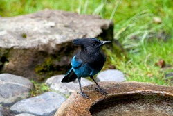 A Steller's Jay perched on the edge of a water sculpture.