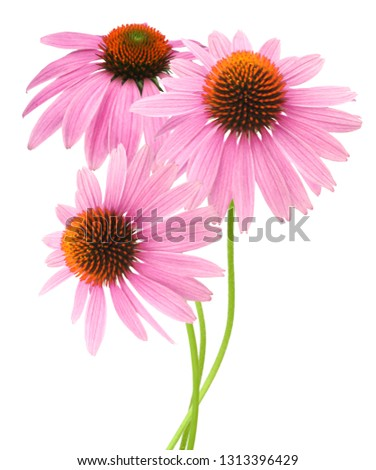 A stem pink echinacea coneflower isolated on white with clipping path included.