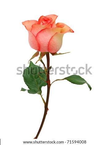 A stem pink rose on white