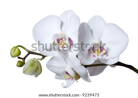 A stem with beautiful white flowers and buds of phalenopsis orchid, isolated on white