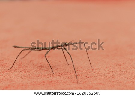 A stick-stick (Latin Phasmatodea) sits on a terry towel at home
