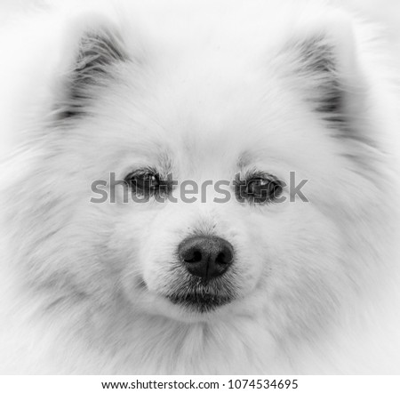 A stoic American Eskimo Dog, in black and white.