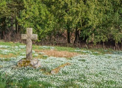 A stone cross in a grave yard covered with snow drops with a green background.