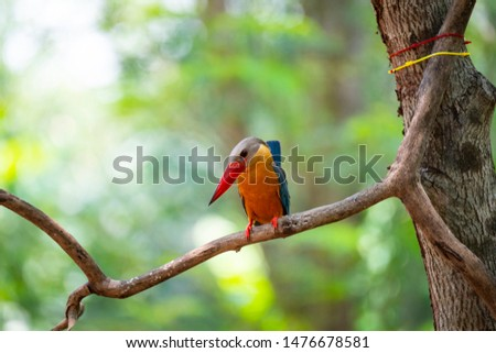 A stork - billed kingfisher is perching on a tree branch and lifting its tail .