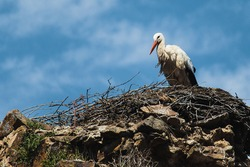 A stork standing in his nest resting and taking care of his youngs.