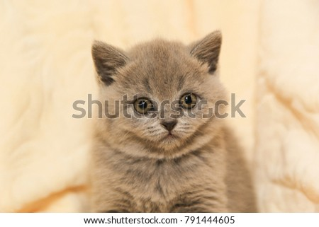 A straight-eyed little kitten of gray color. British Shorthair kitten #791444605