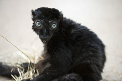 A straight-on shot of a brownish tone black lemur with big, bright blue eyes.
