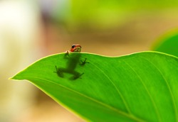 A strawberry dart frog hiding behind a leaf in the Bocas del Toro islands, Panama.