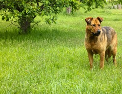 A stray brown street dog with an ear tag stands in the tall grass in a garden on a spring day