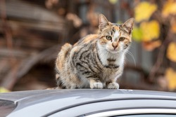 A stray cat is sitting on roof of car. Istanbul, Turkey.