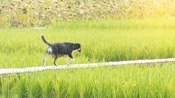 A stray dog, a mother, was walking on a bridge in the rice field.