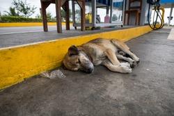 A stray dog in the coastal region of Ecuador