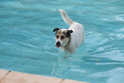 A stray dog is swimming in a pool and licking its lips