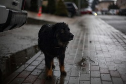 A stray dog is wandering on the street. A cute dog is looking for a master. Poor thing freezes in the city. The four-legged friend does not know the affection of people. Missing pet.