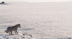 A stray dog plays with ice floes on a frozen river.