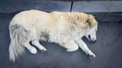 A stray white dog with a special tag or clip on the ear. Solving the problem of socialization and accounting of stray dogs. A stray Dog is lying on the street on the asphalt.