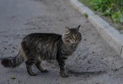 A street cat is walking along the street. Yard cat sits on the sidewalk. Gray cat.