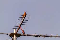 A street pigeon (Columba livia) is perching on a retro style T shaped Television antenna that is mounted on a pole on the roof. There is another bird in the background. Image taken at sunset.