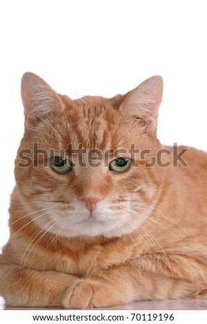 A Striking Portrait of an Fluffy, Orange Tabby Cat with Room for Text Overhead