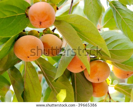 a string of fuyu persimmons hanging on a branch