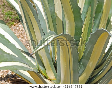 A striped aloe plant lends gesture and decorative striped elements to the desert garden or wilderness landscape.