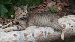 A striped brown cat looking while resting on a cut down coconut tree trunk with trunk in focus