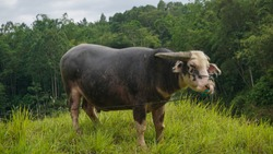 A striped buffalo is standing on a stretch of green grass in a village in Toraja, South Sulawesi-Indonesia