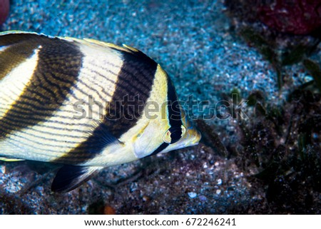 Info on striped butterfly fish share