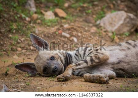 A striped Hyena at Jhalana Forest Reserve