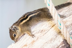 A striped rodents marmots chipmunks squirrel spotted on a tree trunk on hunting mood. Animal behavior themes. Focus on eye.