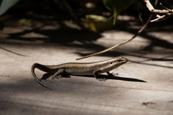 A striped skink, Trachylepis striata, in East Africa.