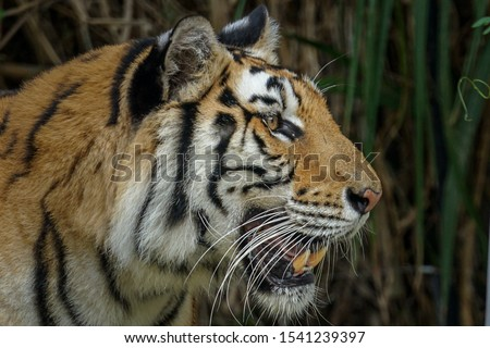 a strong and fierce Asian tiger watching its prey. Asian tigers including carnivorous big cats are protected because its population in the world is increasingly scarce #1541239397