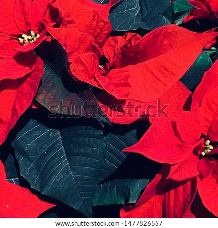 A strong colored image of bright red poinsettias. Traditional christmas season flowers.
