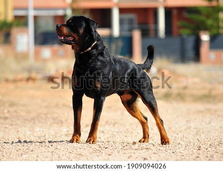 a strong rottweiler dog in the field Zdjęcia stock ©