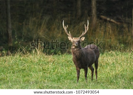 A strong sika deer stands early in the morning on a meadow at the edge of the forest and  observes attentively the surroundings.