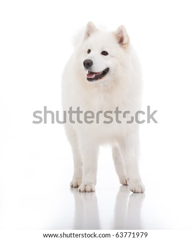 a studio image of a pure white breed dog, standing, looking to the side