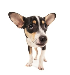 a studio shot of a rat terrier chihuahua mix isolated on a white background