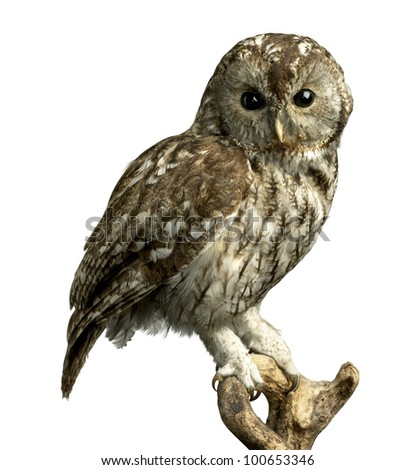 a stuffed owl on a perch isolated on white with a clipping path