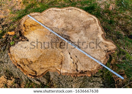 A stump from a sawn tree and а yardstick. Measuring the diameter of the tree.