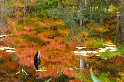 A stump of the marsh in autumn leaves reflecting in the water
