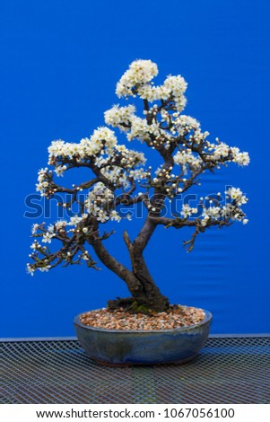 A stunning Blackthorn bonsai prunus spinosa  a species of flowering plant in the rose family Rosaceae. Potted in an Erin pot using a free draining potting medium. #1067056100