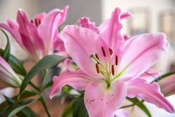 A stunning bright pink bunch of real lily flowers in natural light daytime setting for house decor, beautiful colors, background image for home colours.