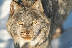 A stunning Canadian lynx with face in full frame focus and partial body showing in our of focus background. Full face staring directly at camera.