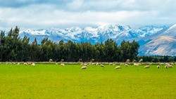A stunning landscape scene of the agriculture in a rural area in New Zealand with a flock of sheep on a green grassland in the cloudy day.