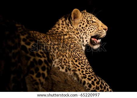 A stunning leopard portrait after dark